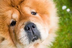 CHOW CHOW close-up