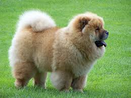 CHOW CHOW on the grass