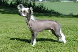 NohairNonSheddingChinese Crested Dog
