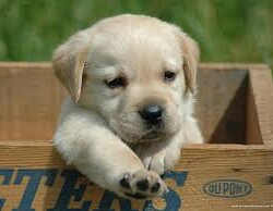 puppy of LABRADOR RETRIEVER