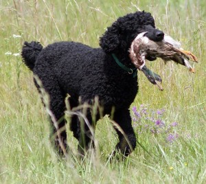 Portuguese Water Dog that don't shed
