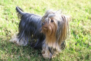 Yorkshire Terrier small dog don't shed