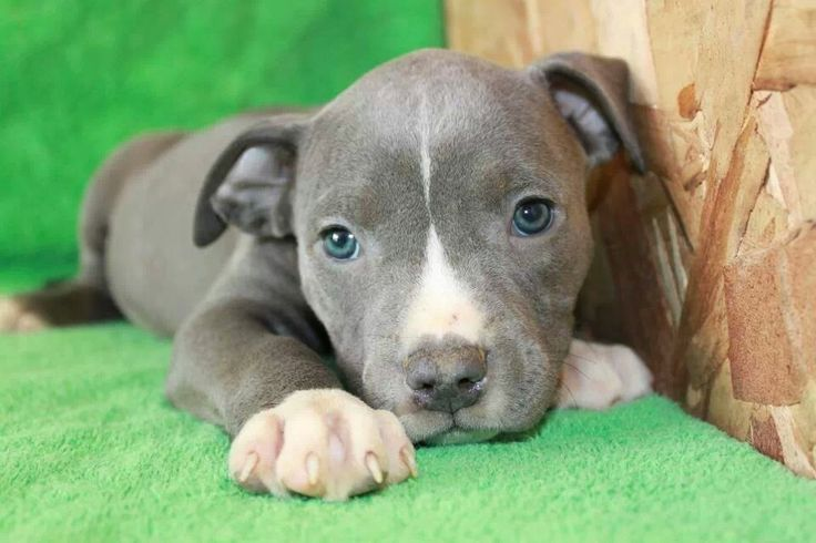 cute image of blue nose pitbull puppies
