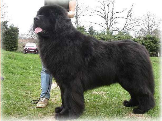 10 Popular Big fluffy Dog Breeds - Me And My Pet