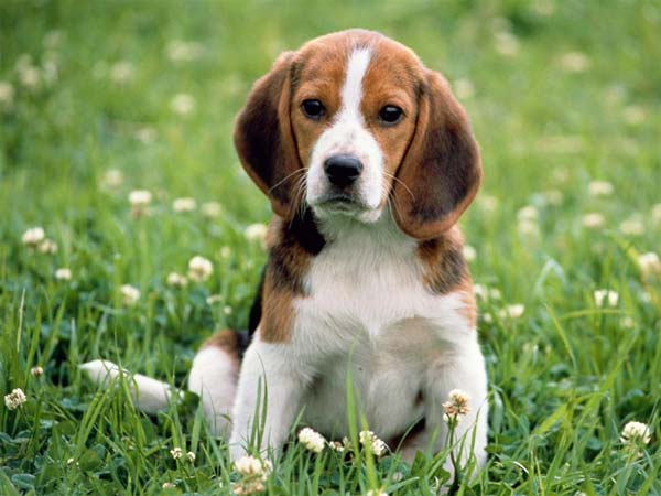 beagles cute