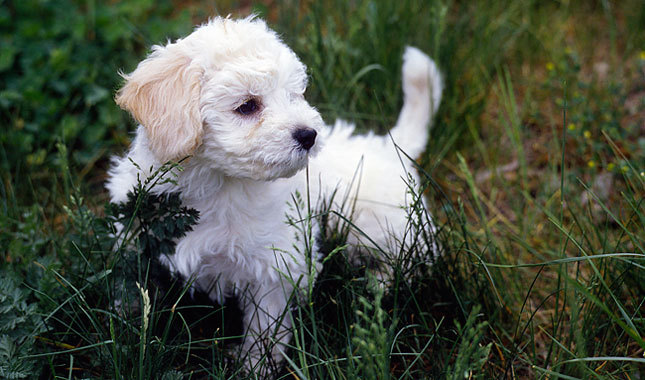 16 Cutest Small White Dog Breeds - Me And My Pet