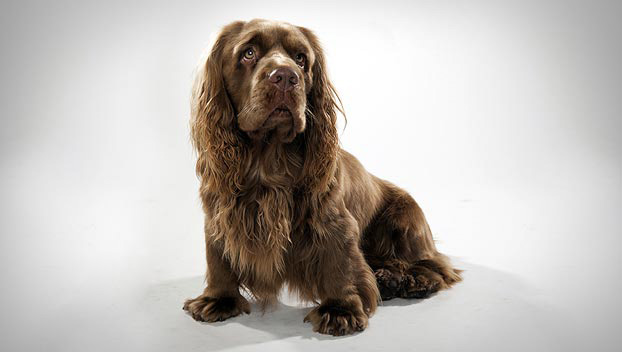 sussex spaniel Dog Breeds