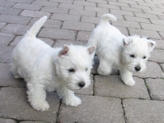 10 Cutest Small White Dog Breeds - Me And My Pet