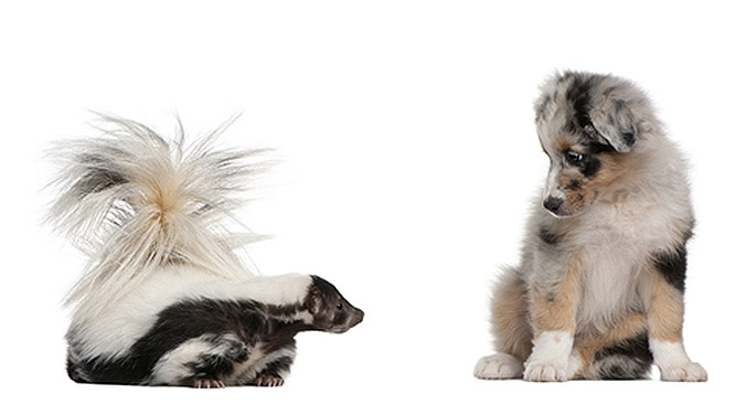 A dog and a skunk