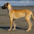 great-dane-dog